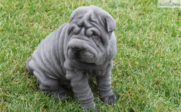 Blue Shar Pei Puppy Sitting On