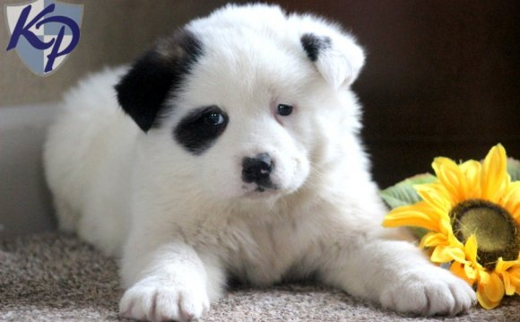 Rusty – Akita Puppies for Sale