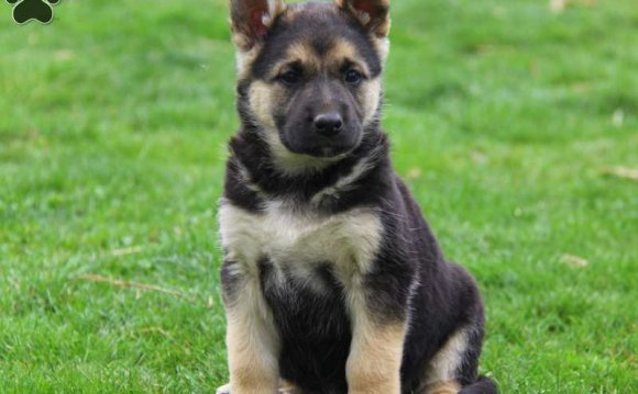 German Shepherd Puppies For