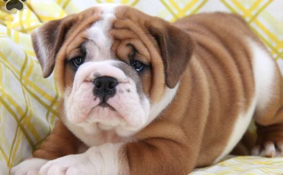 American Bulldog Puppies for
