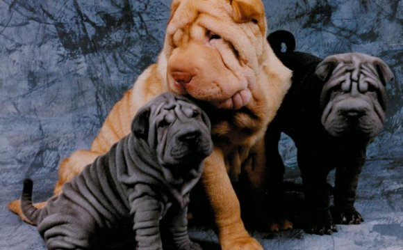 Male and female shar pei s can