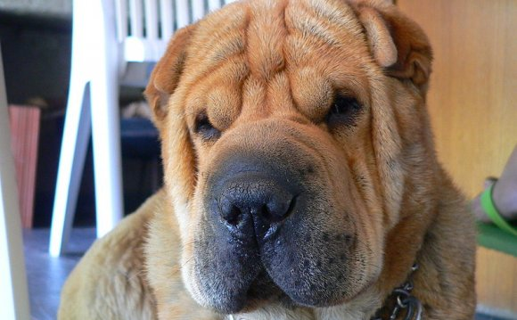 The Shar Pei or Chinese