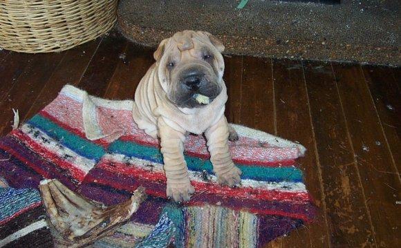 If you like Shar Pei (dogs)
