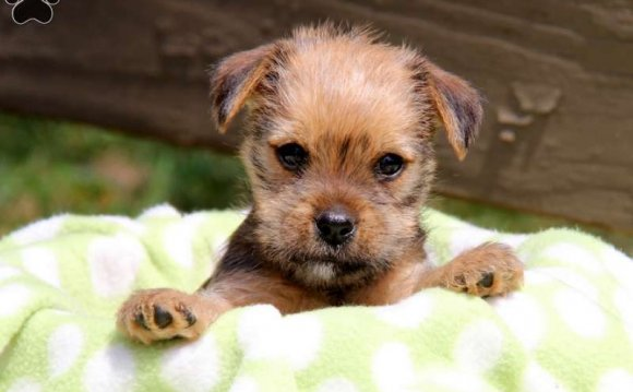Yorkie Mix Puppies For Sale In