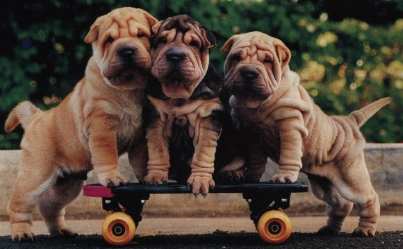 Sweetest Sharpei puppy and