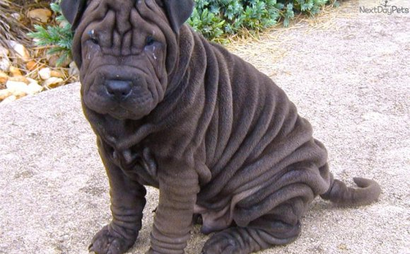 Miniature Shar Pei Dog: