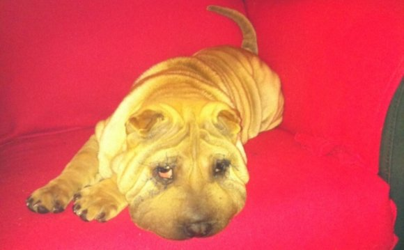 Shar Pei Facelift: What Posh