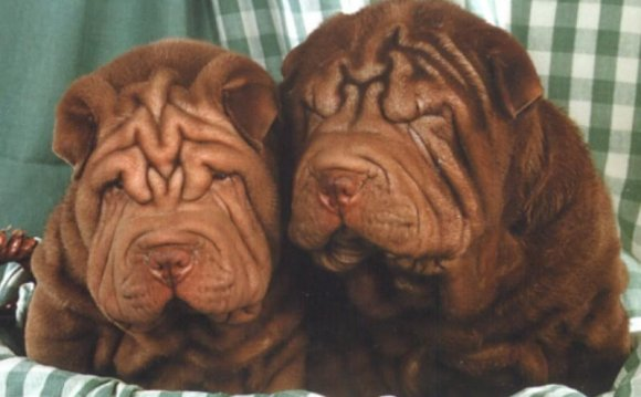 Chinese shar pei picture