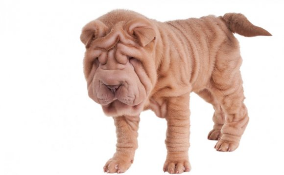 Chinese Shar-Pei Acquiring the