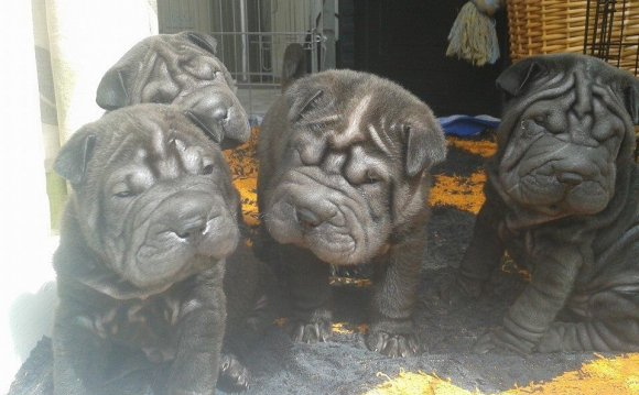 Shar Pei Puppies For Sale All
