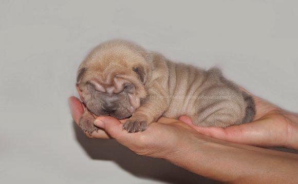 Shar Pei puppy - Isabella Blue