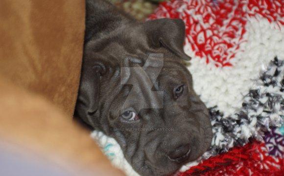 Sharpull Terrier Deuce by