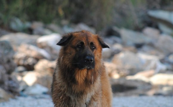 St bernard german shepherd mix