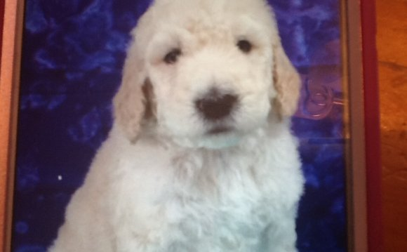 Goldendoodle, Males, , 6 weeks