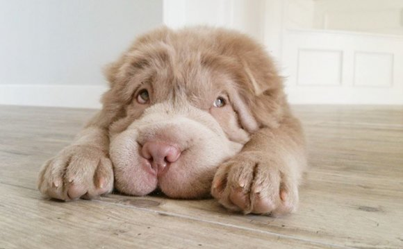 Tonkey the Shar Pei puppy is
