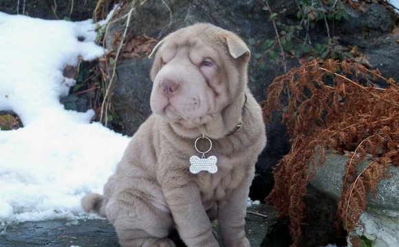 Chinese Shar Pei guarding