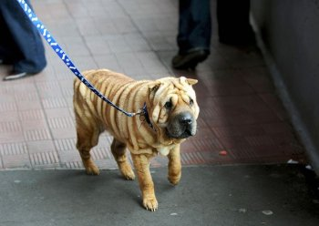 A female Shar Pei dog