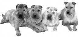 A variety of Shar-pei dogs, left to right, from most to least wrinkly.