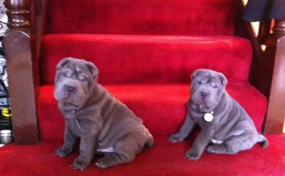 Shar PEI puppies for sale UK