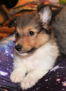 cute AKC Female sheltie pup 8 weeks