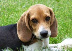Cute Beagle Puppy Lilly