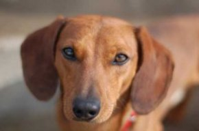 Dachshund Smooth-Coated Dachshund