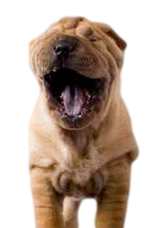Dog breeds that are prone to oily dog dandruff include the Shar-pei.