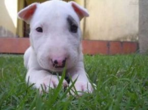 English Bull Terrier-Puppy
