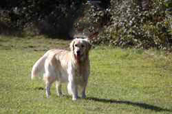 Golden retriever in top condition after treatment from fungal yeast infection.