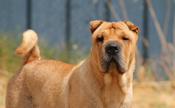 Golden Shar-Pei