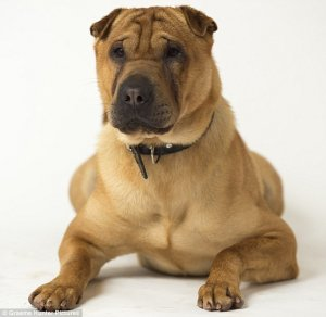 Kai The Shar-Pei Who Was Abandoned At A Train Station Is Now Wanted From Dog Lovers All Over The World, From Spain To The U.S. Police Is Still Looking For His Previous Owners.