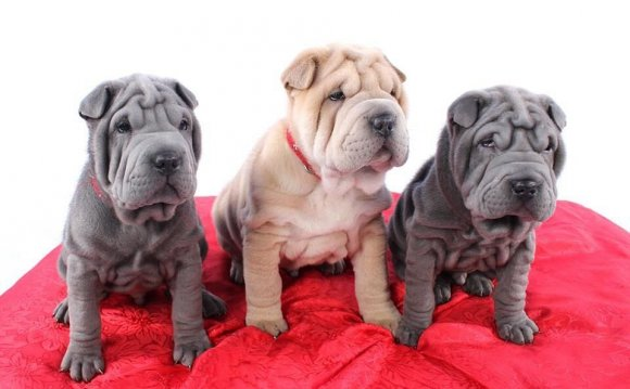 Shar Pei puppies for sale in Kansas