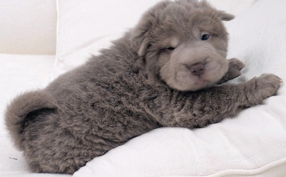 Blue Bear Coat Shar Pei