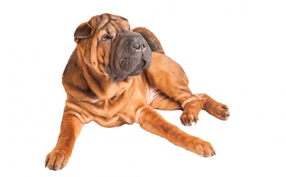 Shar Pei behaviour