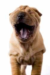 Shar-pei dogs prone to bacterial skin infection.