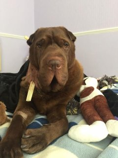 Shar Pei Louis was brutally attacked by Staffordshire type dog on morning walk in Lingham Park