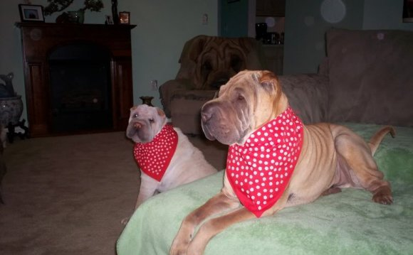 Shar Pei disposition