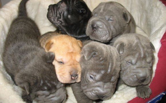 Blue Shar Pei puppy