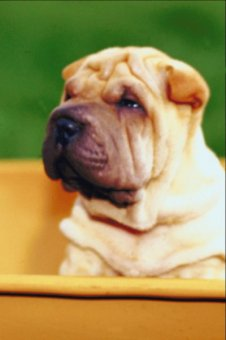 The Chinese shar-pei requires only occasional baths.