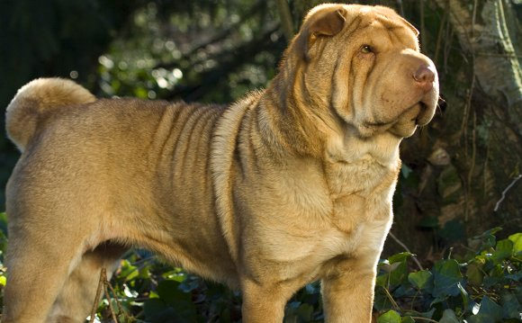 Life expectancy of Shar PEI
