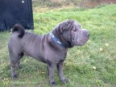 Blue brush Coat Shar Pei