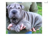Blue Chinese Shar Pei puppies for sale