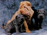 Blue Shar PEI Breeders