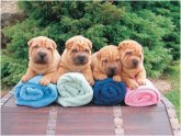 Breeding Shar Pei