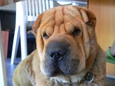 Chinese Shar Pei tongue