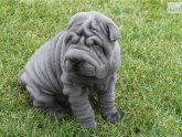 Full grown Shar Pei dog