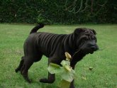 Grown Shar Pei