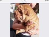Pedigree Shar Pei