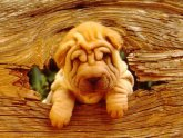 Pictures of Shar peis