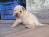 Price of Shar Pei